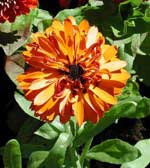 Calendula off. 'Touch of Red Orange'