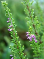 Calluna vulgaris 'Boskoop'