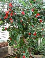 Camellia rusticana