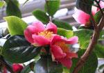 Camellia rustica