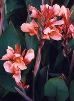 Även Agapanthus- och kannaknölarna startas nu för att hinna blomma.