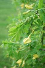 Caragana arborescens 'Pendula'