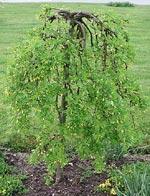 Caragana arborescens 'Pendula'.