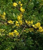 Caragana arborescens, häckkaragan