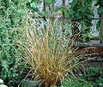 Carex buchananii, Kopparstarr
