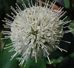 Cephalanthus occidentalis, bollbuske