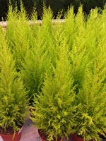 Chamaecyparis lawsoniana 'Gold Crest'