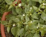Chilepeppar