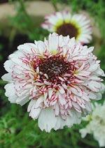 Chrysanthemum carinatum 'Coconut Ice'