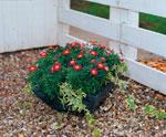 Chrysanthemum frutescens