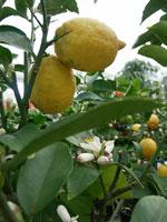Citron i kruka