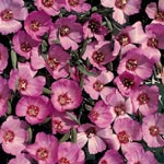 Clarkia, Clarkia speciosa 'Pink Buttercups'