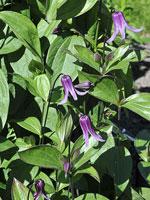 Helbladig klematis, Clematis integrifolia