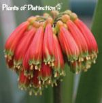 Clivia nobilis, kafferlilja