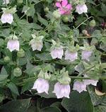 Lön för mödan: kanske en vacker porslinklocka (Codonopsis clematidea)