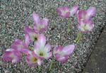 Colchicum speciosum var. bornmuelleri