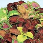 Coleus-sorter, färgnässlor
