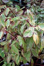 Cornus alba 'Gouchaultii' på senhösten