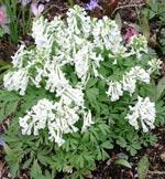 Corydalis solida f. alba