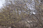 Corylus avellana på en äng