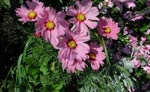Cosmos bipinnatus, rosenskära