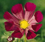 Cosmos 'Pied Piper Red'