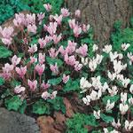 Cyclamen hederifolium 'Hardy Mixed', minicyklam