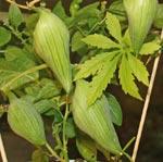 Korila, Cyclanthera pedata