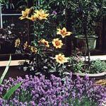 Plantera liljor och dahlia tillsammans i kruka. Här med lavendel i förgrunden.