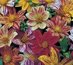 Sommardahlia, Dahlia x hortensis 'Fireworks'