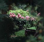 Genom att odla dahlia i kruka kan man flytta den dit den för tillfället matchar bäst.
