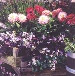 Dahlia finns i så många former och färger att alla kan hitta sina favoriter. Fyll rabatter i trädgården och krukor och lådor på balkongen med sommarblommor och perenner och blanda in dahlior högt och lågt.