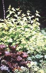 Physocarpus opulifolius 'Dart's Gold', Gulbladig smällspirea