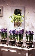 Delft Blue är en hyacint med fyllig doft