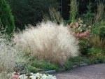 Deschampsia cespitosa 'Waldschatt'