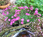 Dianthus-hybrid 'Kahori' (nejlika)