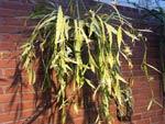 Disocactus macranthus syn. Pseudorhipsalis macrantha