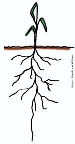 Hur djupt ner kan växter sätta rötter?