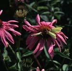 Echinacea Purpurea - Mycket älskad av bin, humlor och fjärilar!