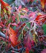 Acer aconitifolium