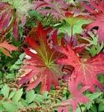 Ligularia przewalskii, spirstånds i höstfärg