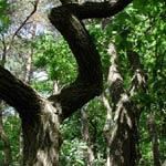 Ekar, Quercus