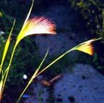 Ekorrkorn, Hordeum jubatum. Ett sirligt ettårigt gräs.
