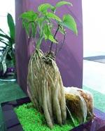 Stemona sessilifolia