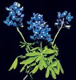Rikblommande, tålig och långlivad i blomningen är denna lilla lupin.