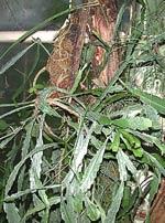Epiphyllum spec. på trädstam