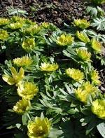Eranthis 'Flora Pleno'