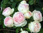 'Eden Rose'