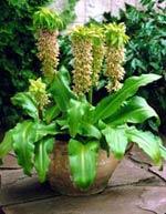 Eucomis bicolor, fläckig tofslilja
