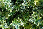 Euonymus fortunei 'Emerald Gold'